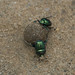 Dung beetles in Jaipur