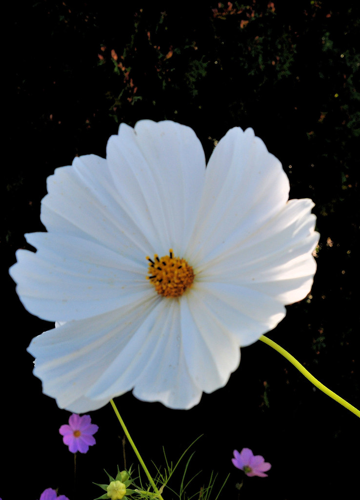 SGM Cosmos blanc .r