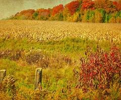 Cornfield in October (scilit) Tags: autumn trees texture nature grass rural fence landscape golden corn cornfield october colorful farm harvest fields cornhusks avpa memoriesbook artistictreasurechest magicunicornverybest 1001nightsmagiccity netartii