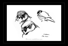 Faucon hobereau (YannLeBris) Tags: birds oiseaux wildlifeart falcosubbuteo fauconhobereau wildlifeillustrations dessinanimalier yannlebris illustrateuranimalier illustrateurnaturaliste illustrationnaturaliste
