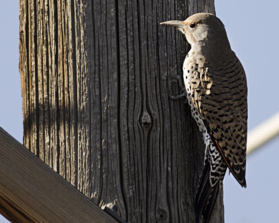 Northern Flicker (not flickr)