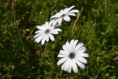 Beautiful daisies Photo
