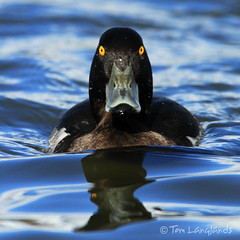 Tufted Duck - with attitude! (Tom Langlands Photography) Tags: bird duck waterbird tufted avian aythya fuligula