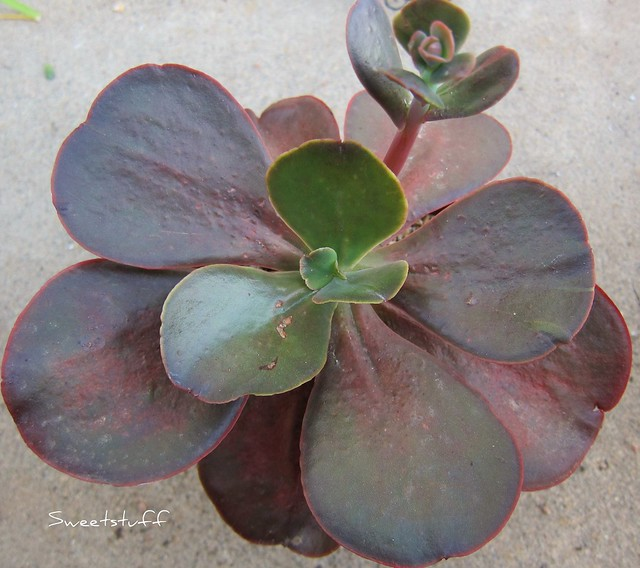 Echeveria hybrid