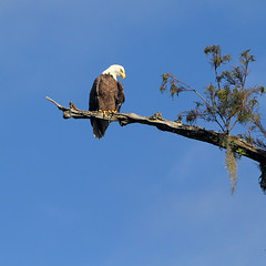 October Camp Trip 3 (anoldent) Tags: santa river florida baldeagle fe
