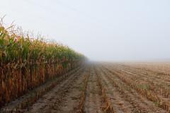 un matin brumeux. (Patrick Mayon) Tags: morning mist france field fog landscape alsace paysage maize brouillard champ matin moring leverdujour mas