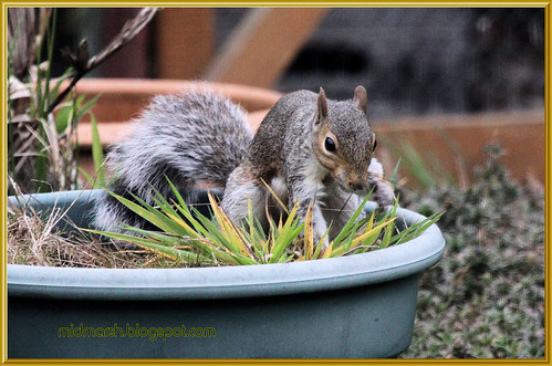 Grey Squirrel 3