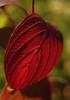Autumn red (nikjanssen) Tags: autumn red leaf bokeh 43adapter