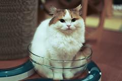 Cat in the Bowl part II (Chiaki Higashino) Tags: animals cat tokyo shibuya bowl  neko