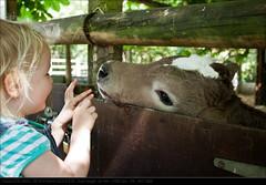 2010_05_24_2989 (John P Norton) Tags: anna cow toddler licking f40 shutterpriority 1320sec focallength24mm canoneos500d efs1855mmf3556is sherwoodparkfarm copyright2010johnnorton