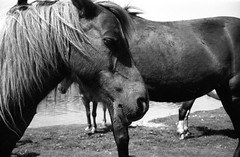 New forest ponies (nickdemarco) Tags: fujineopan400 leicam3 leicateleelmarit90mmf28 weekendinnewforest