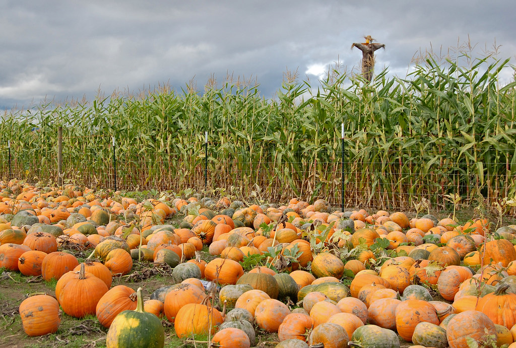 Sauvie Island Pumpkin Farm and Corn Maze