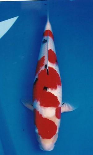Murata Sanke 51cm