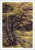 Larches, Glen Brittle (GKooijman70) Tags: autumn tree skye forest landscape scotland bomen isleofskye herfst larches landschap schotland glenbrittle lariks