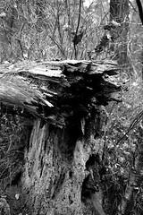 Bruchstelle (anirbas_84) Tags: autumn tree fall herbst natur wald baum kaputt ammerland schwarzweis wildenloh