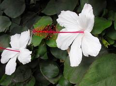 blossoms (dmixo6) Tags: garden succulent jardin dugg dmixo6