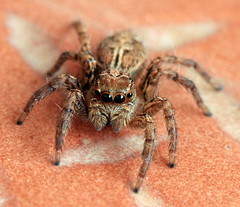 Spider (m I m) Tags: eye hair insect spider eyes floor legs bangalore 8 eight animalkingdomelite