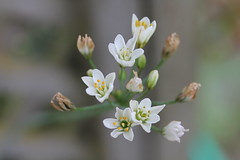 White flowers (ali_gata1970) Tags: flowers white flower nature weed whiteflowers