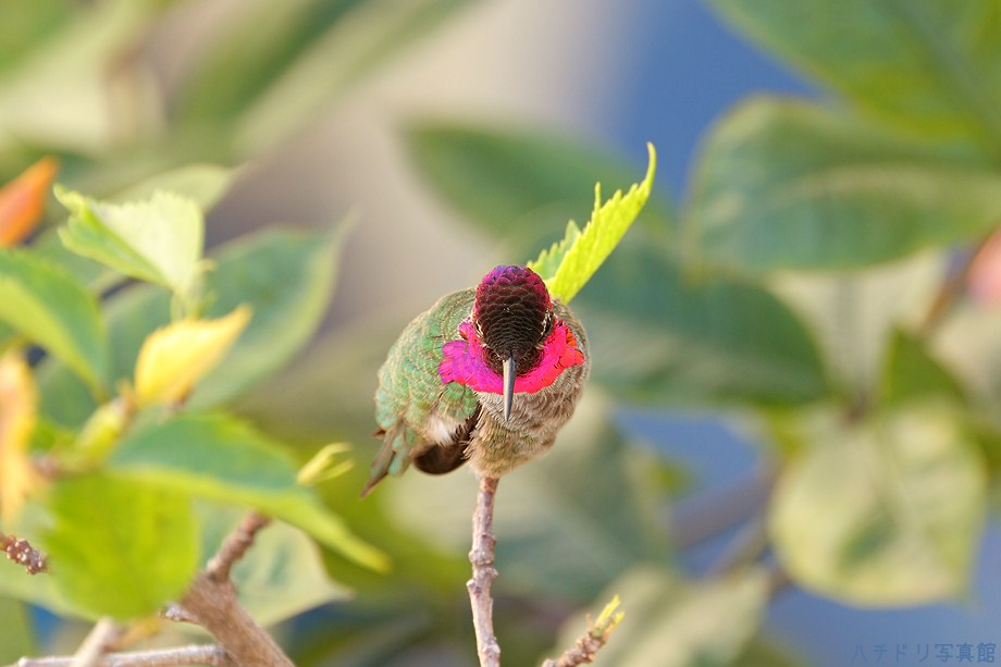 Anna's Hummingbird111111-5