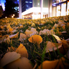 Photogenic Sapporo (shotam) Tags: autumn urban evening ginkgo sapporo snap    grdigital ricoh   businesstrip grd  grd3