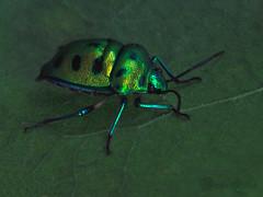 A jewel bug of the Scutelleridae family (Nauzer) Tags: bug indian jewel scutelleridae