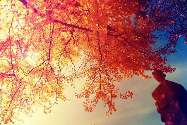 ginko tree