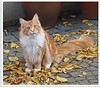 Herbstkater - autumn cat (1)
