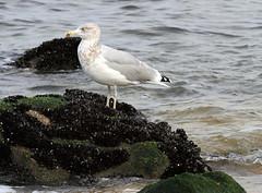 Herring Gull and Blue Mussels (sandy richard) Tags: longisland beaches wildwood wildwoodstatepark sandyrichard sandrarichard