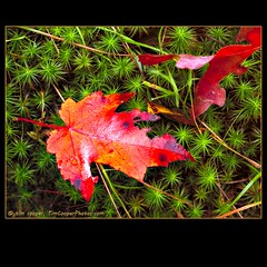 Star Moss and Maple Leaf (tim, TimCooperPhotos.com) Tags: autumn red green landscape moss flickr unitedstates massachusetts fallfoliage mapleleaf northamerica starmoss dogtowncommons timcooper