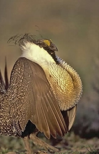 Male greater sage grouse. (USFWS photo)