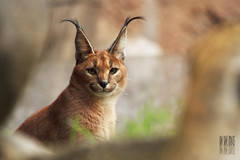 In Hiding (Ian Sane) Tags: male animal oregon cat portland ian zoo images cricket hiding caracal sane in greatnature