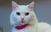 Floquinho-3-4 (Geraldo Stefano) Tags: gato gatobranco olharfelino geraldostefano