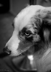 Waiting (CecilieSonstebyPhotography) Tags: blackandwhite bw dog eye animal oslo closeup canon canoneos sigma30mm canon60d flickraward canoneos60d