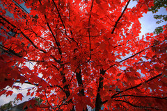 maple red (Eyesplash - There is a change in the air.) Tags: autumn red tree fall maple acer mapleleaf change brilliant naturesfinest 100commentgroup pleaserespectanyuseagewithpermissionsonly allrightsreservedthisimagemaynotbecopiedreproduceddistributedrepublisheddownloadeddisplayedpostedortrasmittedinanyformsorbyanymeansincludingelectronicmechanicalphotocopyingrecordingwithoutmywrittenpermission