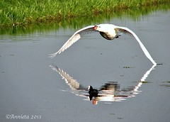 David en Goliath ( Annieta  Off / On) Tags: reflection bird nature netherlands animal canon reflections landscape ilovenature swan nederland natuur obsession powershot september s2is polder reflexions dier soe oiseau allrightsreserved vogel landschap zuidholland weerspiegeling worldsbest zwaan reflectie krimpenerwaard 2011 reflecties coth greatphotographers supershot annieta avianexcellence rubyawards natureselegantshots soloreflex thewonderfulworldofbirds reflectionlovers usingthisphotowithoutpermissionisillegal mygearandme mygearandmepremium mygearandmebronze mygearandmesilver mygearandmegold flickrsportal mygearandmeplatinum mygearandmediamond flickrstruereflection1