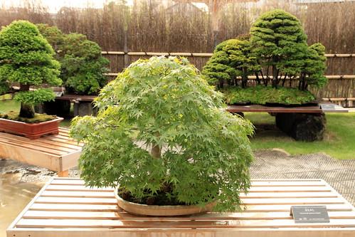 Yamamomiji (Japanese Maple) - 盆栽美術館 - bonsai museum