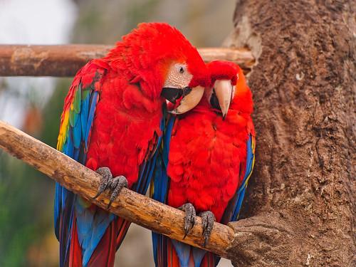 無料写真素材, 動物 , インコ, コンゴウインコ, 動物  カップル