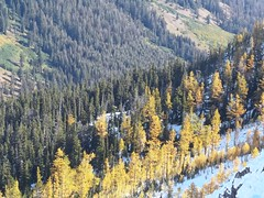 More larches