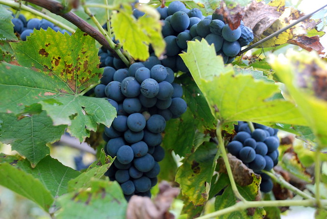 grape Alexandrouli