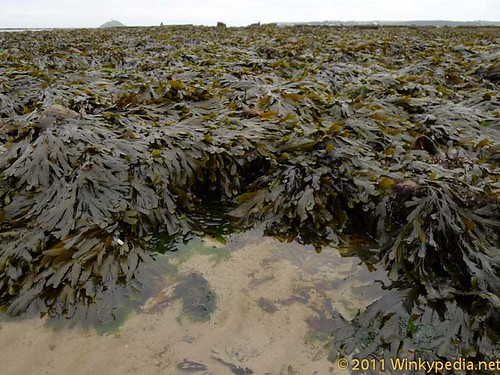 Seaweed field in Ireland