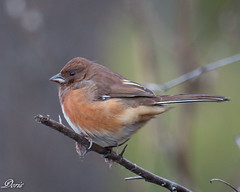 Eastern Towhee (female) (claybuster1(Mike & Doris)) Tags: easterntowhee michiganbirds