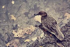 Animal (GZZT) Tags: lake berlin water leaves animal see duck leaf wasser natur blatt ente blätter mb tier neukölln tümpel hasenheide guessedberlin gzzt martinbriese gwbeliels