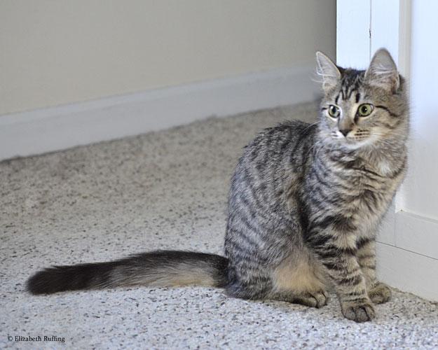 Phoebe the tabby kitten