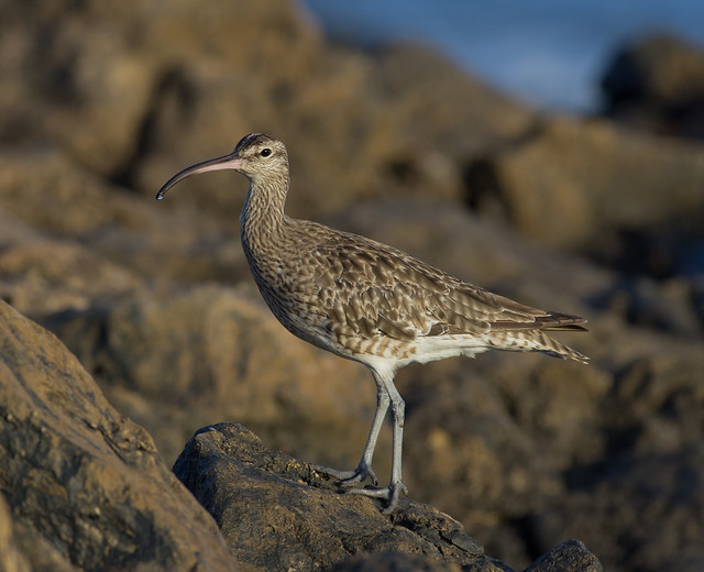 whimbrel 300mm on rocks drip on beak