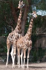 Giraffes (djmdjmdjm) Tags: iso200 noflash f80 105mm aperturepriority 105mmf28 0ev nikond90 centerweightedaverage sec subjectdistance 157mmefl