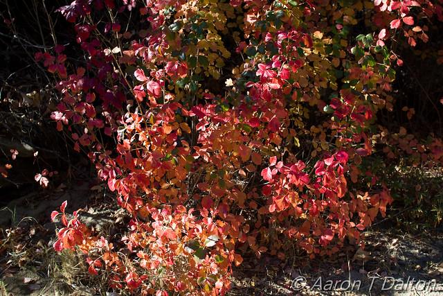 Festive Poison Oak