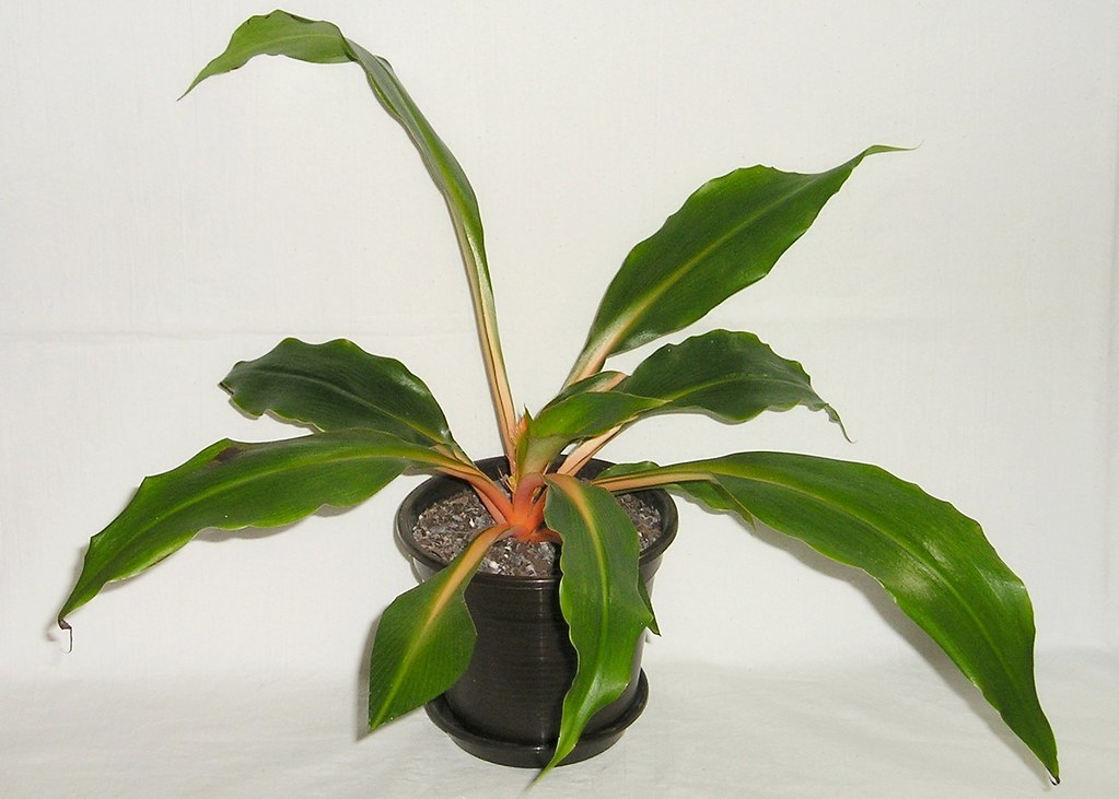 thesis on chlorophytum A new chlorophytum (asparagaceae)  380 telopea 18:  kerala, phd thesis pp 800+xiv manuscript received 18 august 2015,.