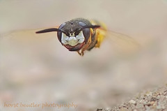 European Beewolf (Horst Beutler) Tags: flying wasp pentax action wildlife flight activity wespe diggerwasp sandwasp aculeata insectactivity philanthustriangulum specinsect k20d bienenwolf europeanbeewolf pentaxart copyrighthorstbeutlerphotography