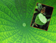 Lotus Leaf (njchow82) Tags: nature collage closeup butterfly leaf lotus seedhead chow calgaryzoo nanacy beautifulexpression canonpowershotsx30is isabellaslongwingbutterfly