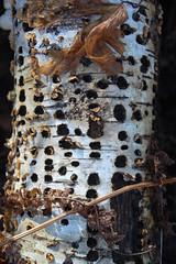 Birch (pchgorman) Tags: november wisconsin logs prairies birches savannahs pleasantvalleyconservancy